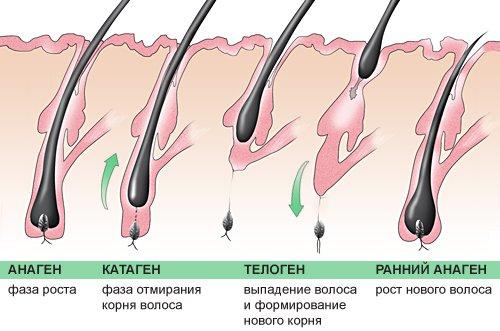 фазы роста ресниц