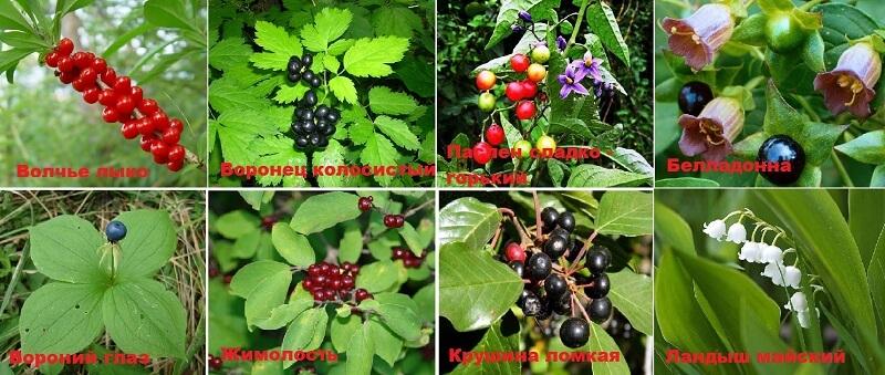 Некоторые ядовитые ягоды