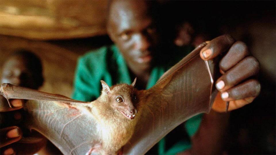 летучая мышь Эбола